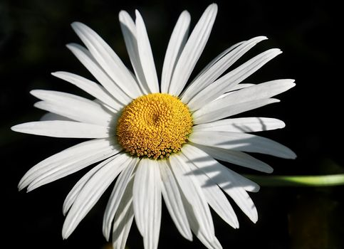 Macro of a wihite marguerite daisy flower with black background