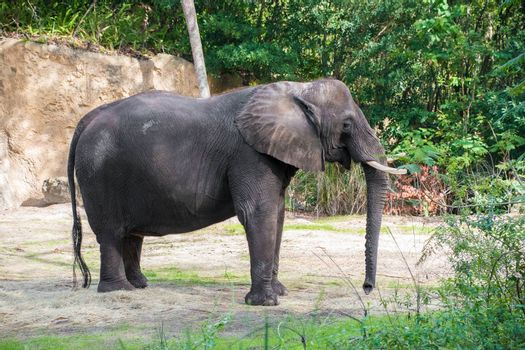 Large african elephant looking around