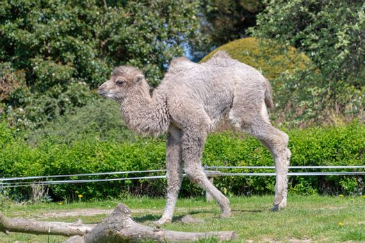 Baby Bactrian Camel in the sunshine