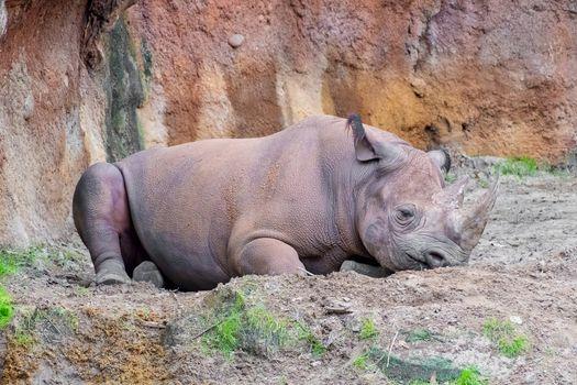 Black rhino laying on the ground resting