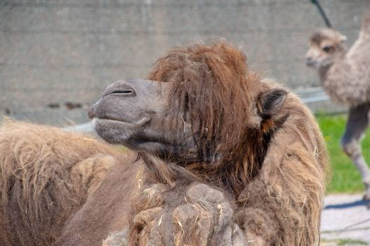 Close view of a Bactrian Camel in the sunshine