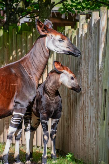 Baby Okapi with her mum on a sunny day