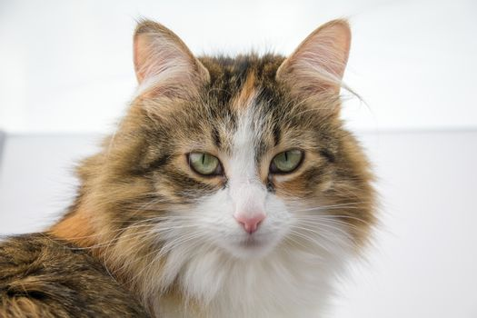 Portrait view of a tortoiseshell longhaired cat