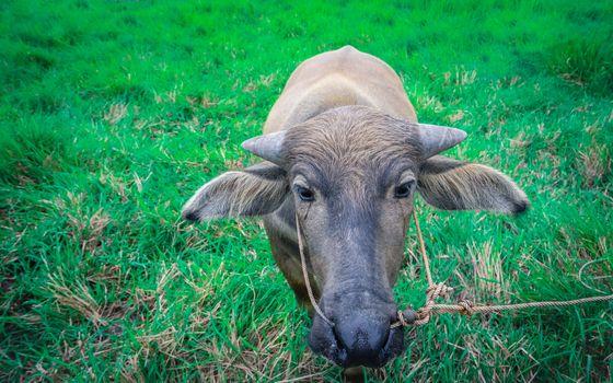 Thai buffalo in green grass field, animal head