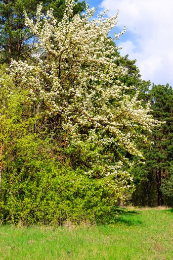 pear tree with flowers at spring season