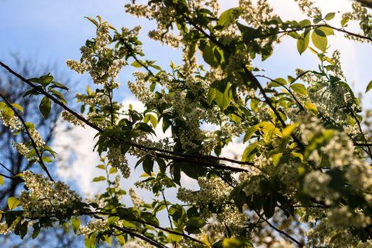 bird-cherry tree at spring season, May