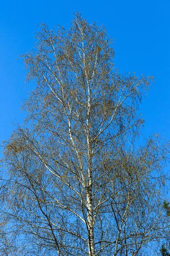 birch tree at spring season isolater on a blue sky background