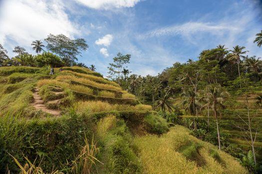 Beautiful Green cascade rice fields on Bali island, Jatiluwih near Ubud, Indonesia