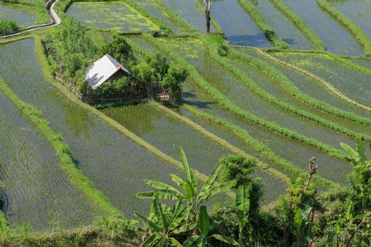 A cottage in the green field. Traditional farmer hut in the rice field.