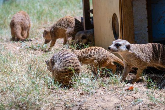 Family of meerkats around wooden house