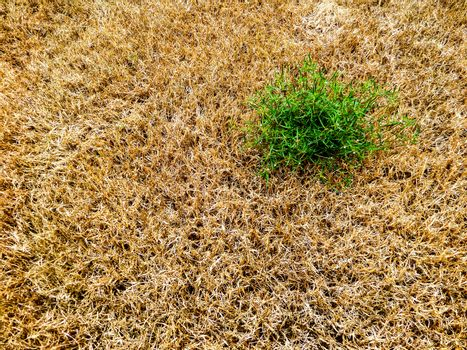 close up green grass survival amount brown and dry grass