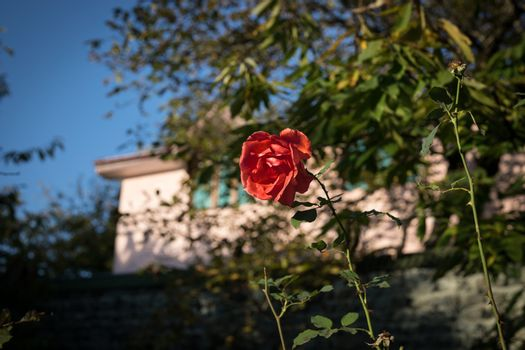 a bunch of red roses in the garden. Close up. Selective focus