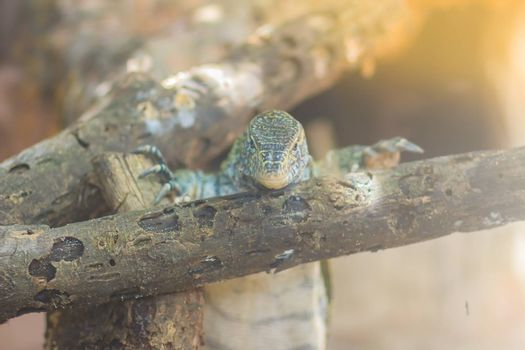 Cute Nile monitor (Varanus niloticus) is a large member of the monitor family (Varanidae) found throughout most of Sub-Saharan Africa and along the Nile.