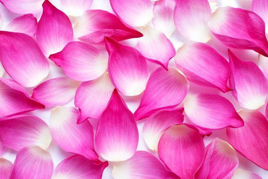 Pink lotus petals background.