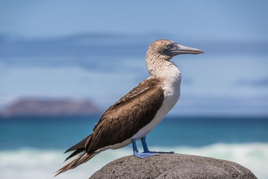 Galapagos Blue footed Booby - Iconic and famous galapagos animals and wildlife. Blue-footed boobies are native to the Galapagos Islands, Ecuador, South America.