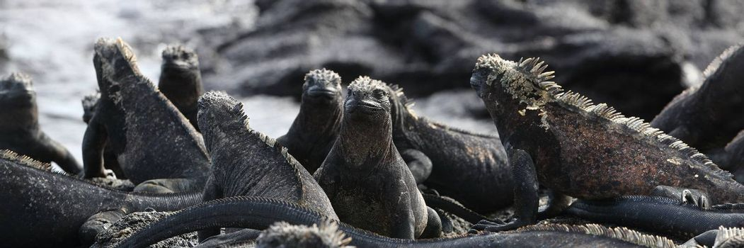 Animals. Galapagos Marine Iguana - Iguanas warming in the sun on volcanic rocks on Fernandina Island, Espinoza Point. Amazing wildlife animals on Galapagos Islands, Ecuador.