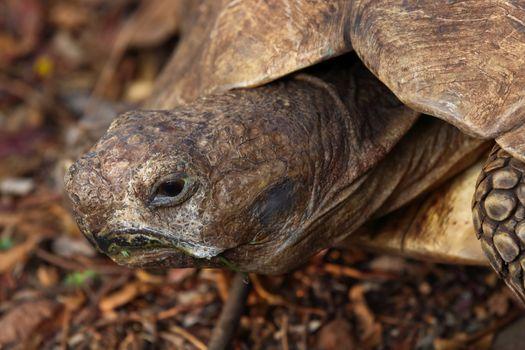Old African leopard tortoise (Stigmochelys pardalis) close-up, Pretoria, South Africa
