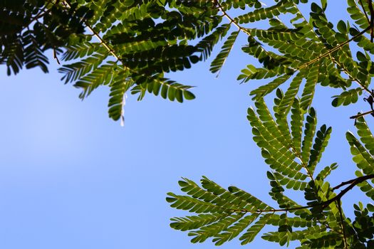 African flat-crown tree (Albizia adianthifolia) leaves with clear blue sky, Pretoria, South Africa