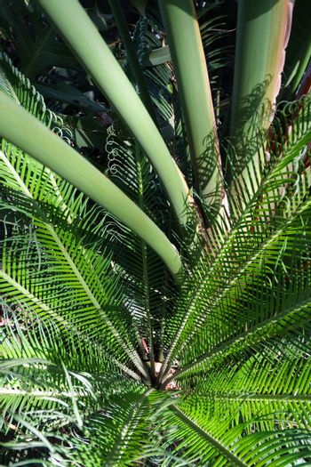 Mixed tropical vegetation with cycad and palms, Pretoria, South Africa