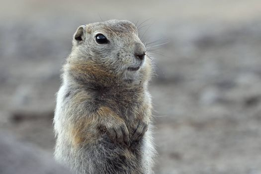 Portrait of Arctic ground squirrel. Curious wild animal of genus of medium sized rodents of squirrel family. Kamchatka Peninsula, Russian Far East, Eurasia.