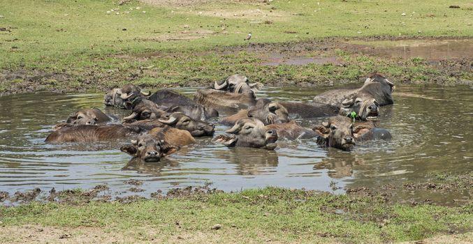 Herd of domesticated water buffalo livestock in water hole