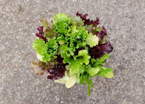 Lush mixed lettuce plants with green and red salad leaves seen from above on a concrete background