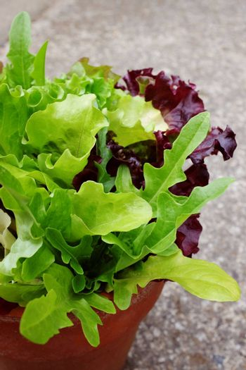 Close-up of mixed salad leaves, lettuce varieties growing in terracotta pot on concrete background