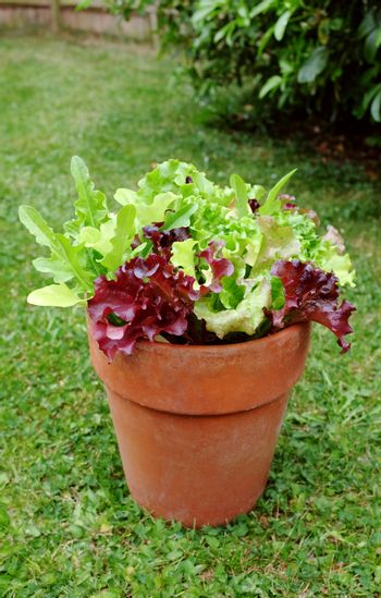 Terracotta pot with home-grown mixed salad, leaf lettuce plants ready for harvest in a lush garden