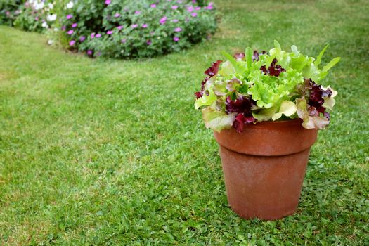 Flower pot of mixed lettuce plants, red and green salad leaves, ready to pick in a pretty garden with copy space