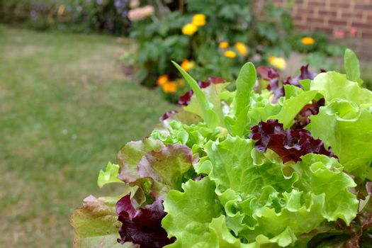 Lush green and red mixed lettuce leaves ready to eat, in selective focus against a pretty garden, with copy space