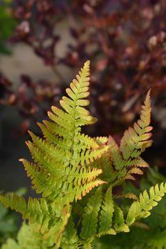 Autumn fern - Latin name - Dryopteris erythrosora