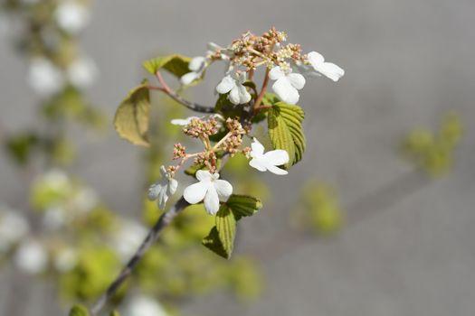 Japanese snowball Mariesii - Latin name - Viburnum plicatum Mariesii