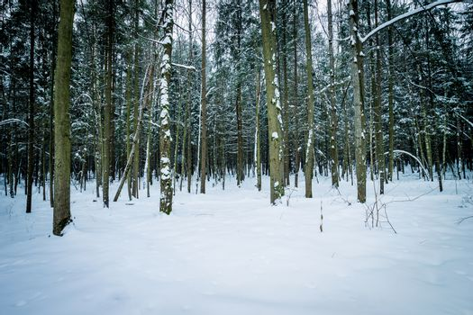 Landscape of winter spruce forest covered with frost at mainly cloudly weather.