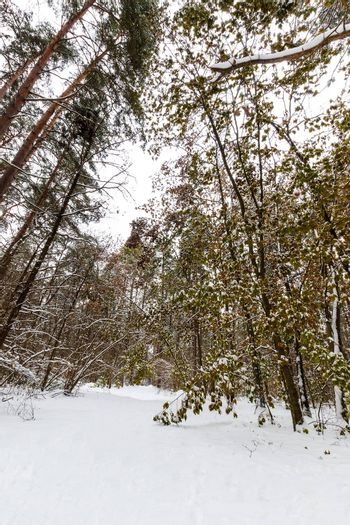 Landscape of winter pine and maple forest covered with frost at mainly cloudly weather. The leaves in the snow.