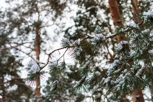 branch of pine tree covered with frost at winter season