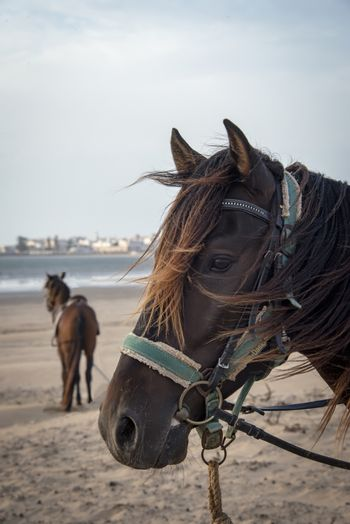 Essaouria, Morocco - September 2017: Two Horses wearing saddles and  harnesses stood waiting on the beach