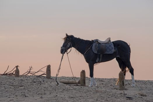 Essaouria, Morocco - September 2017: Horse with a harness and saddle waiting on the sand as the sky turns pink