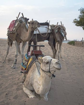 Essaouria, Morocco - September 2017: Camel train taking a break at the beach