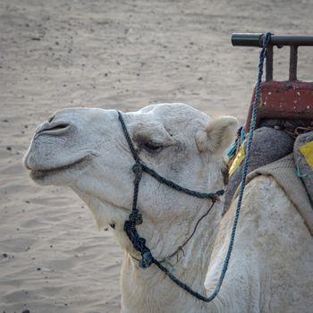 Essaouria, Morocco - September 2017: Essaouria, Morocco - September 2017: White camel at the beach