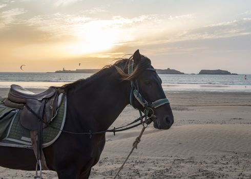 Essaouria, Morocco - September 2017: Horse with a harness and saddle  standing on a beach - kitesurfers and a golden sunset in the back ground