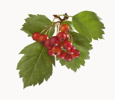 Branch of hawthorn