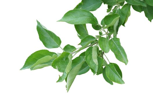 Branch of pear tree