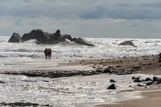 Galle, Sri lanka  - Sept 2015: Brown cow with twisted horns,  walking through shallow water at a beach