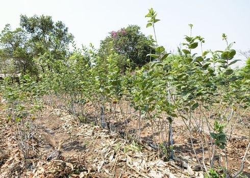 mulberry trees being farmed to provide food for silkworms
