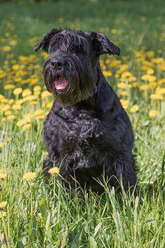 Obedient Giant Black Schnauzer Dog. Vertically.
