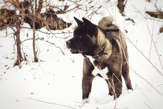 Alaskan Malamute dark color in the natural environment walking in the snow