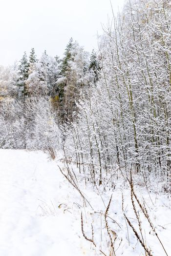 landscape of winter forest with birches at pines covered with snow at mainly cloudy weather