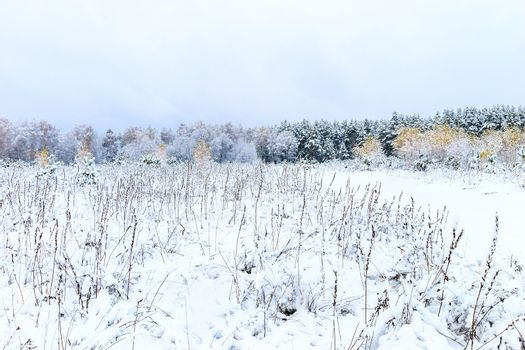 Landscape of winter forest with birches at pines covered with frost at mainly cloudy weather. First snow at autumn season.