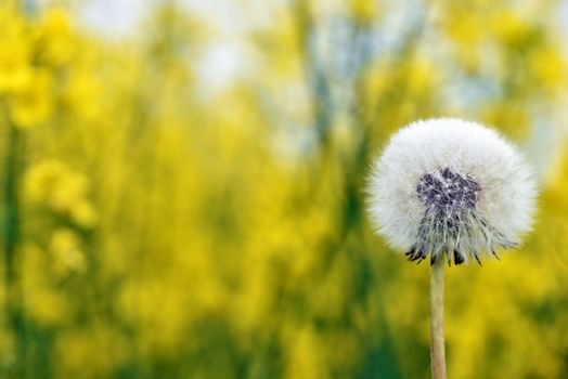 Selective focus close-up photography. It is flowering dandelion with white fuzz growing canola field.