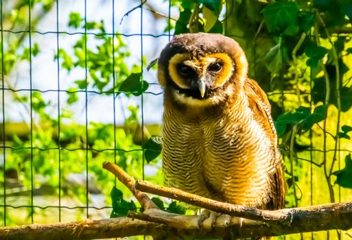 closeup portrait of a brown wood owl sitting on a branch, tropical bird specie form Asia